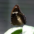 Common Crow Butterfly on the Edge by Kelly Robinson