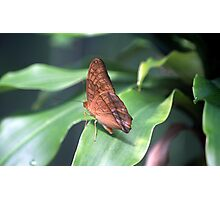 The Cruiser Butterfly Photographic Print