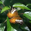 Lacewing Butterfly in Orange by Kelly Robinson