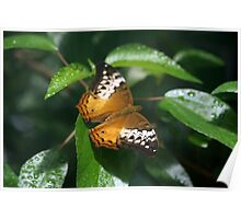 Lacewing Butterfly in Orange Poster