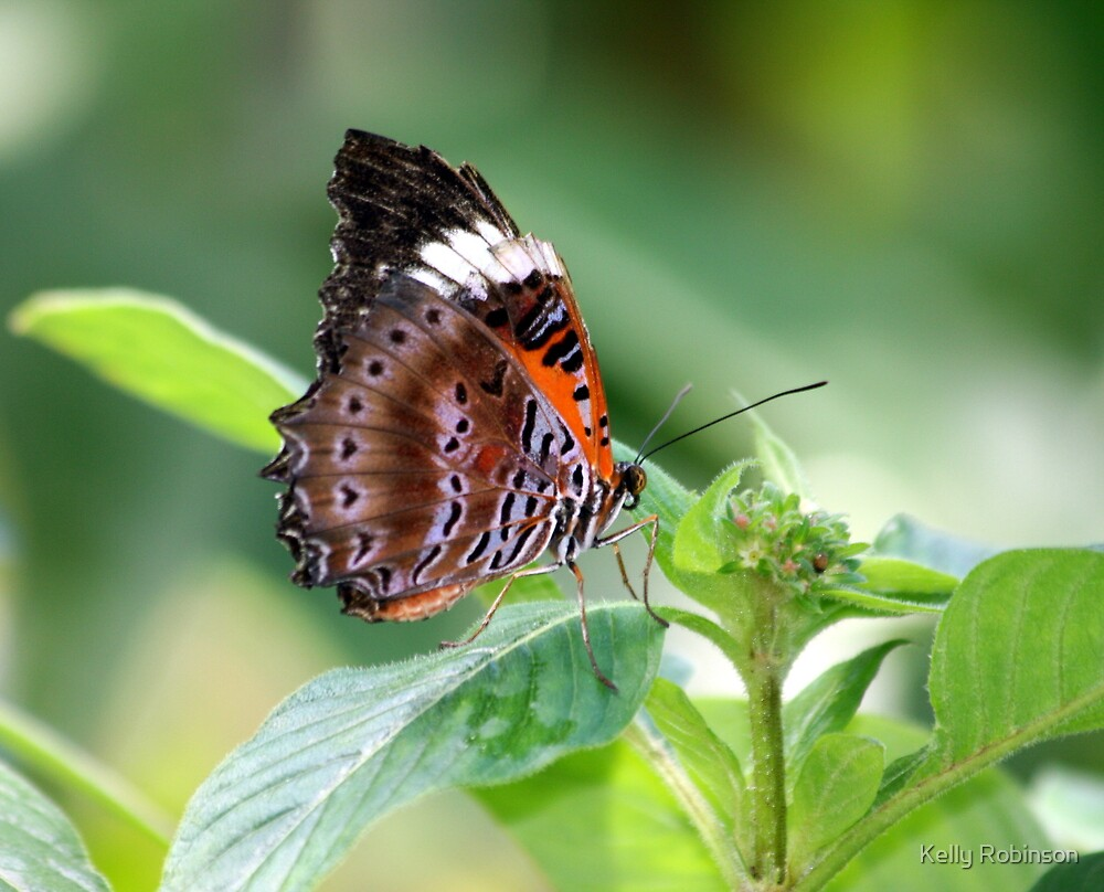 For the Love of an Orange Lacewing by Kelly Robinson