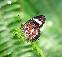 Orange Lacewing Butterfly by Kelly Robinson