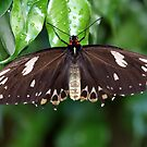 Orchard Swallowtail Butterfly by Kelly Robinson