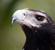 Eagle Closeup by Daniela Pintimalli