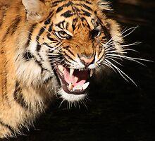 Tiger: Annoyance by Daniela Pintimalli