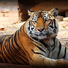 Tigers Milk by tracyleephoto