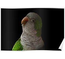 Keiko - Quaker Parrot Poster