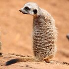 Baby Meerkat: Scout by Daniela Pintimalli