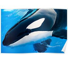 Killer Whale, Orcinus Orca Poster