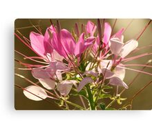 Spider Flower (Cleome) Canvas Print