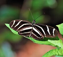 Zebra Longwing by Jeff Ore
