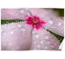 Pink impatiens in the rain Poster