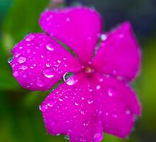 Pink impatiens flower with rain by mimialanjo