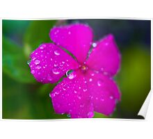 Pink impatiens flower with rain Poster