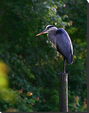 Great Blue Heron by JGetsinger