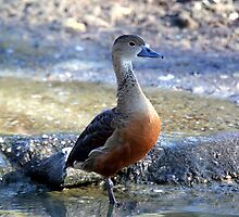 Javan Tree Duck by JGetsinger
