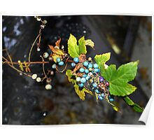 Wild grapes Poster