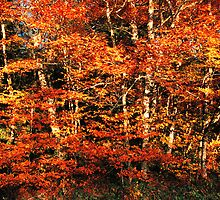 BEECH TREES,AUTUMN by Chuck Wickham
