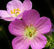 Two Pink Geraniums by lorilee