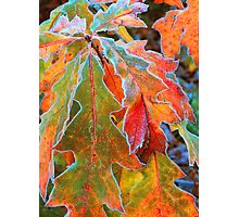 FROSTED OAK LEAVES* Photographic Print