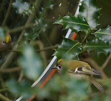 I am a goldcrest - how beautiful am I? by kingfisher