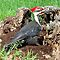 Fabulous Pileated Woodpecker. by William Brennan