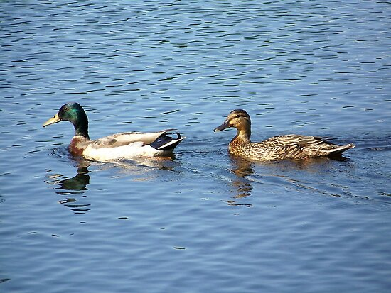 A mallard pair cruising the lake. by William Brennan