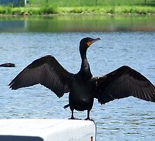 A double-crested cormorant drying it's wings. The mate is in the background. by William Brennan