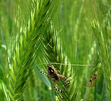 Spiders in barley by LukeMajewski