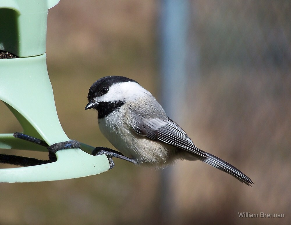 A Black-Capped Chickadee looking for lunch. by William Brennan