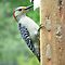A female Red-Bellied Woodpecker. by William Brennan
