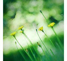 Dandelions Through a Lensbaby Photographic Print