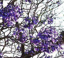 Jacaranda Blooms by Jenelle  Irvine