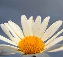 Daisy before the storm by nicknack1981