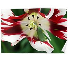 """Flaming Green Parrot"" Tulip Poster"