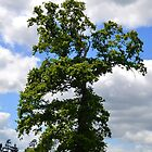 A Tall Tree--Chard Somerset,UK by lynn carter