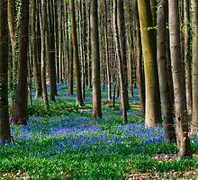 Hallerbos, The Blue Forest by Alison Cornford-Matheson