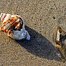 Hermit crab, Fethard on Sea, County Wexford, Ireland by Andrew Jones