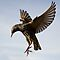 Animals with WINGS - (Canon EOS images only)