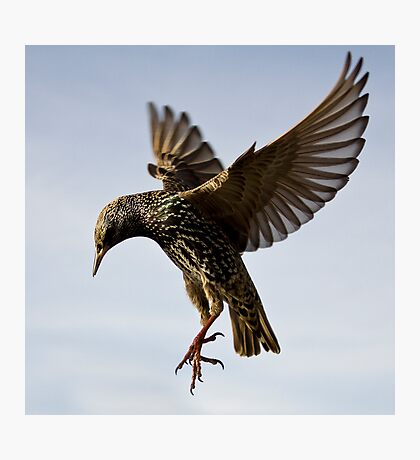 Starling Ballet Photographic Print