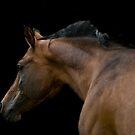 Arab Stallion by laurav