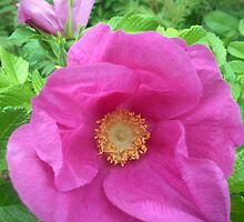 Wild Rose Glorious Pink Beauty by M Sylvia Chaume