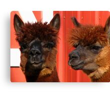 Alpaca Look A Like Canvas Print