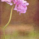 Cornflower by AlixzandraArts