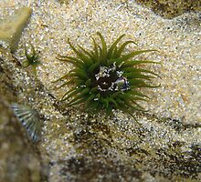 Green Sea Anemone by RobynHButler