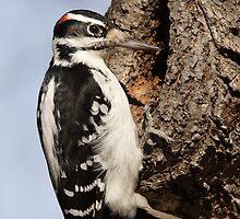 Male Hairy Woodpecker by DigitallyStill