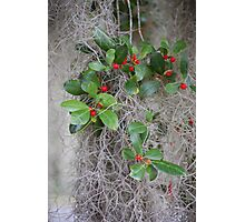 Ilex opaca - American Holly Photographic Print