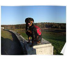 Rottweiler backpacking Poster