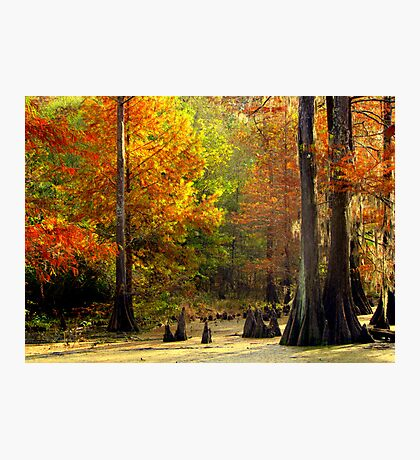 In The Swamp, Cypress Trees Photographic Print