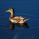 Duck in a Circle by Sam Davis
